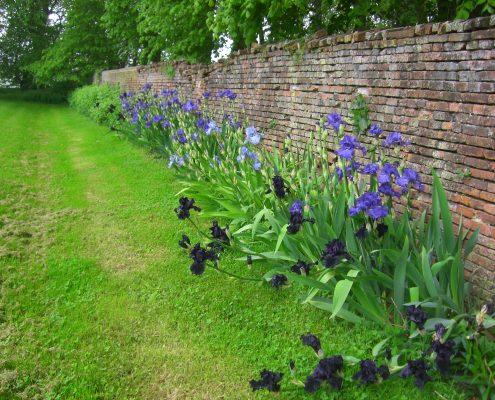 Iris au jardin Château et jardins de Bretteville DR