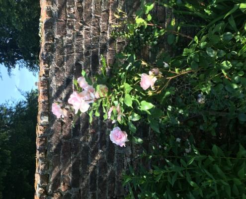 Roses André Lenôtre